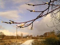 Weidenkätzchen funkeln im Licht der eisigen Sonne - aufgenommen am Morgen bei Neu-Schönfeld (©ASC)
